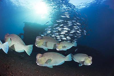 Bumphead Parrotfish Poster