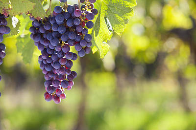Bunch Of Purple Grapes Growing On Vines In Vineyard Poster by Echo