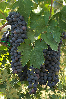 Bunches Of Sangiovese Grapes Hang Poster by Heather Perry