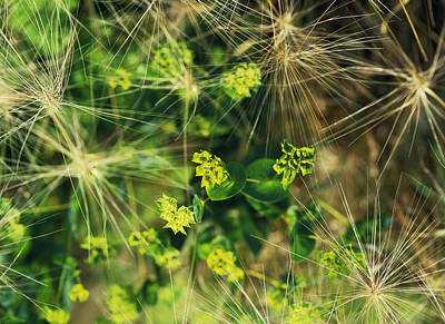 Bupleurum Rotunifollium - Green Gold  (hares Ear)  And Hordeum Jubatum (squirrel Tail Grass),  September Kew Gardens Poster by Suzie Gibbons