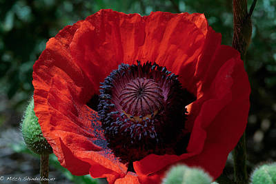 Poster featuring the photograph Burning Poppy by Mitch Shindelbower