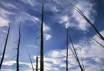 Burnt Trunks Of Black Spruce, Boggy Poster by Darwin Wiggett