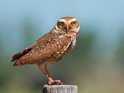 Burrowing Owl Poster by Peter Schoen