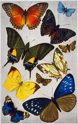 Butterflies, 19th Century Poster