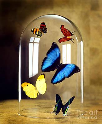 Butterflies Under Glass Dome Poster