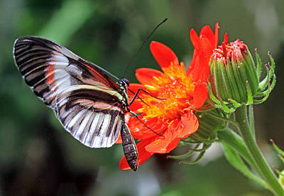 Poster featuring the photograph Butterfly - Orange by Larry Nieland