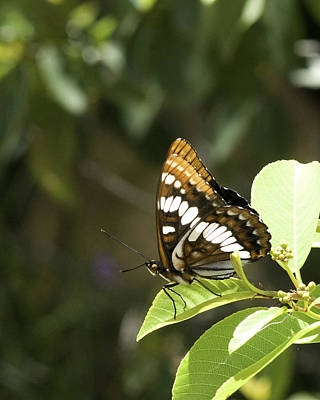 Poster featuring the photograph Butterfly At Rest by Betty Depee