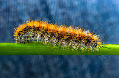 Butterfly Caterpillar Larva On The Stem Poster