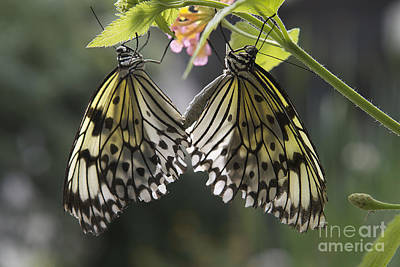 Butterfly Duo Poster by Eunice Gibb