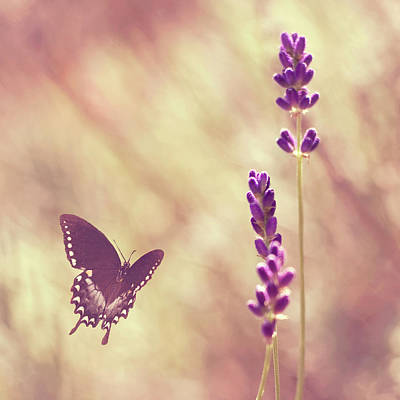 Butterfly Flying Towards Lavender Poster