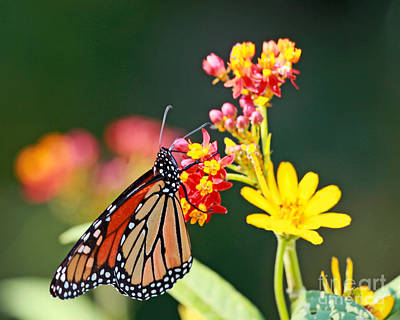 Butterfly Monarch On Lantana Flower Poster