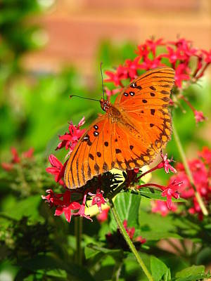 Butterfly On Pentas Poster by Carla Parris