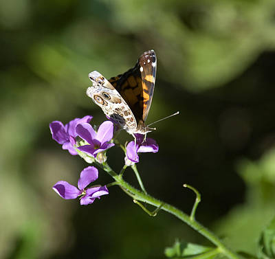 Butterfly On Phlox Bloom Poster