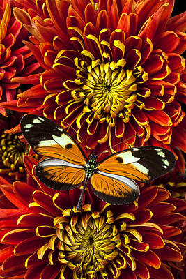 Butterfly On Spider Mums Poster by Garry Gay