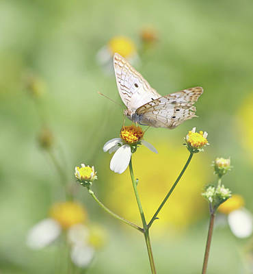 Butterfly On Wildflower Poster