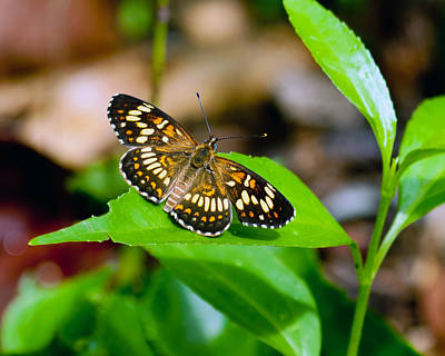 Poster featuring the photograph Butterfly by Susi Stroud