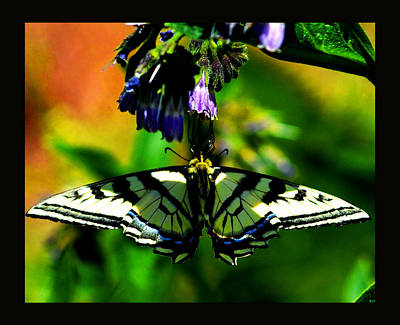 Poster featuring the photograph Butterfly Upside Down On Comfrey Flowers by Susanne Still