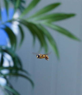 Buzz Of The Hover Fly Poster