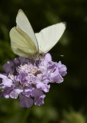Cabbage White Butterfly  Poster by Saija  Lehtonen