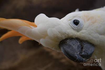 Cacatua Sulphurea Citrinocristata - Citron Crested Cockatoo Poster by Sharon Mau