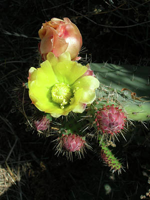 Poster featuring the photograph Cactus Flowers by Bonnie Muir