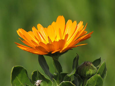 Poster featuring the photograph Calendula Bloom by Bonnie Muir