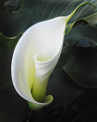 Calla Lily Poster by Joe  Palermo