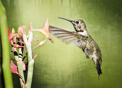 Calliope Hummingbird  Poster