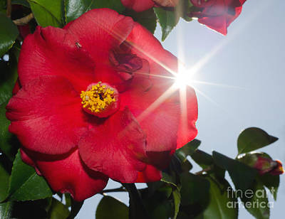 Camellia Flower Poster by Mats Silvan