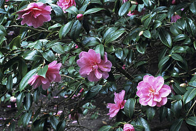 Camellia Flowers Poster by Adrian Thomas