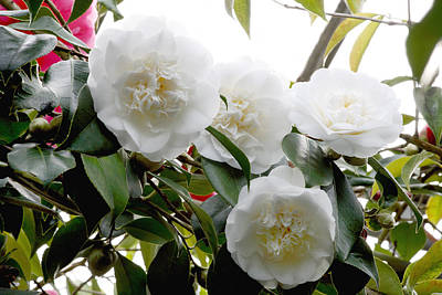 Camellia Flowers (camellia Japonica) Poster by Dr Keith Wheeler