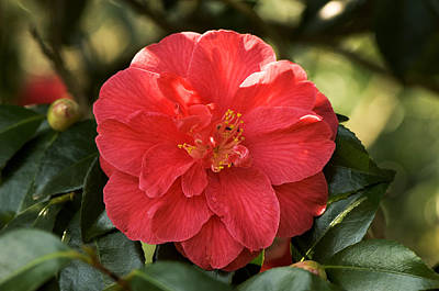 Camellia Japonica 'mercury' Poster by Adrian Thomas