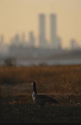Canada Goose Branta Canadensis And Hazy Poster by Raymond Gehman