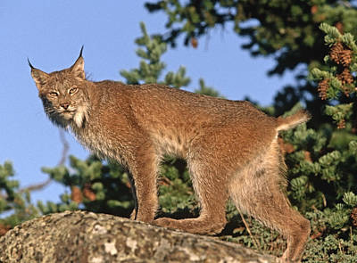 Canada Lynx Climbing On Rock North Poster by Tim Fitzharris