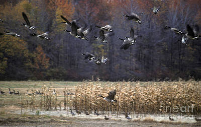 Poster featuring the photograph Canadian Geese In Flight by Craig Lovell