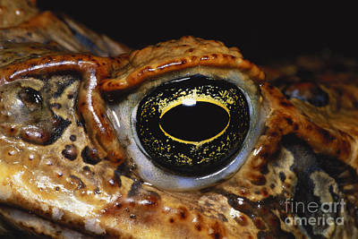 Cane Toad Eye Poster by Dante Fenolio