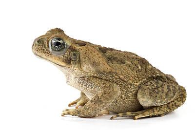 Cane Toad La Selva Costa Rica Poster by Piotr Naskrecki