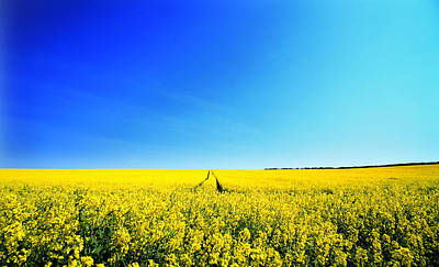 Poster featuring the photograph Canola by David Harding