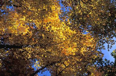 Canopy Of Autumn Branches Poster by David Chapman