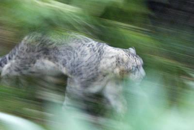Captive Snow Leopard Panthera Uncia Poster by Rich Reid