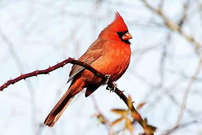 Cardinal 1 Poster by Joe Faherty