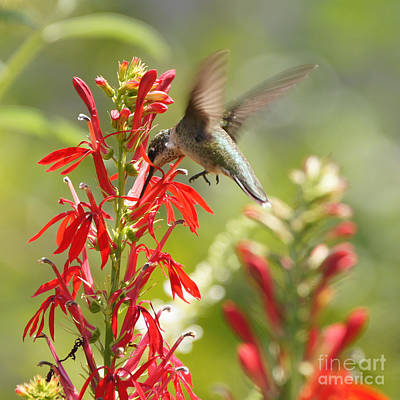 Cardinal Flower And Hummingbird 1 Poster