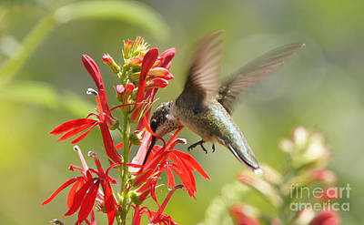 Cardinal Flower And Hummingbird 2 Poster