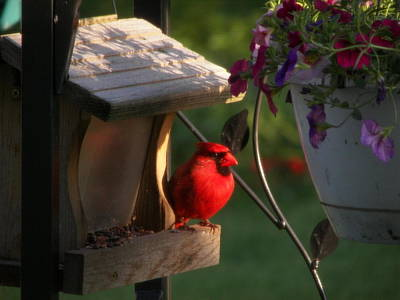 Poster featuring the photograph Cardinal by Judy Via-Wolff
