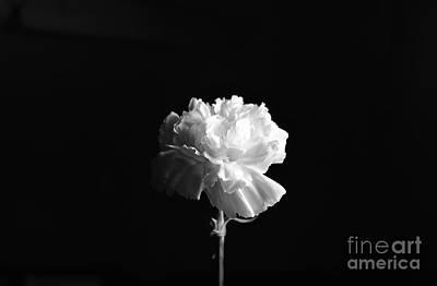 Carnation Flower Poster
