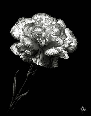Carnation In Black And White Poster