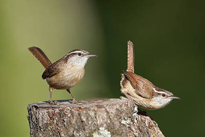 Carolina Wrens Poster by Bonnie Barry