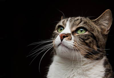 Cat  Looking  Upward Poster