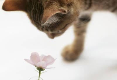 Cat Smelling Flower Poster