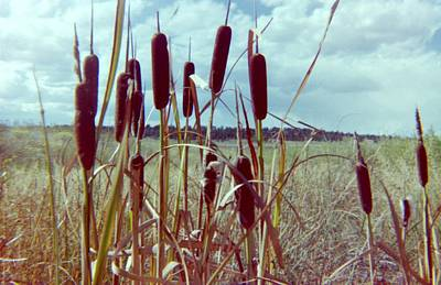 Poster featuring the photograph Cat Tails by Bonfire Photography